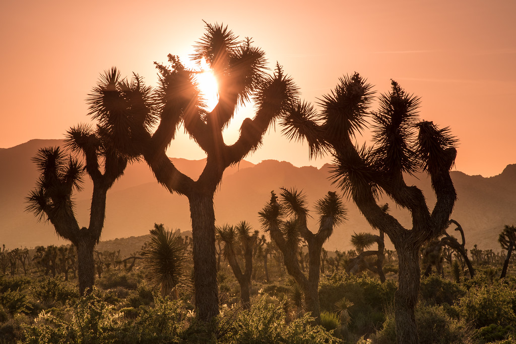 "CALIFORNIA 2573<br /> <br /> ""Sentinels of the Mojave""<br /> <br /> Joshua Tree National Park"