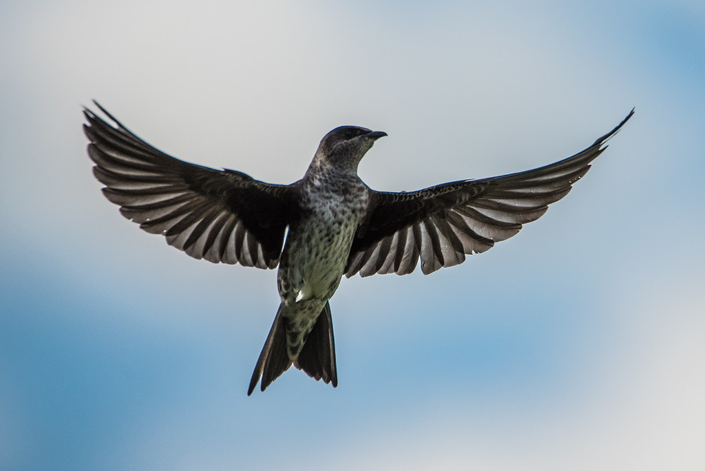 "ANIMALS BY AIR 8030<br /> <br /> ""Purple Martin""<br /> <br /> Cuyuna Country State Recreation Area, MN"
