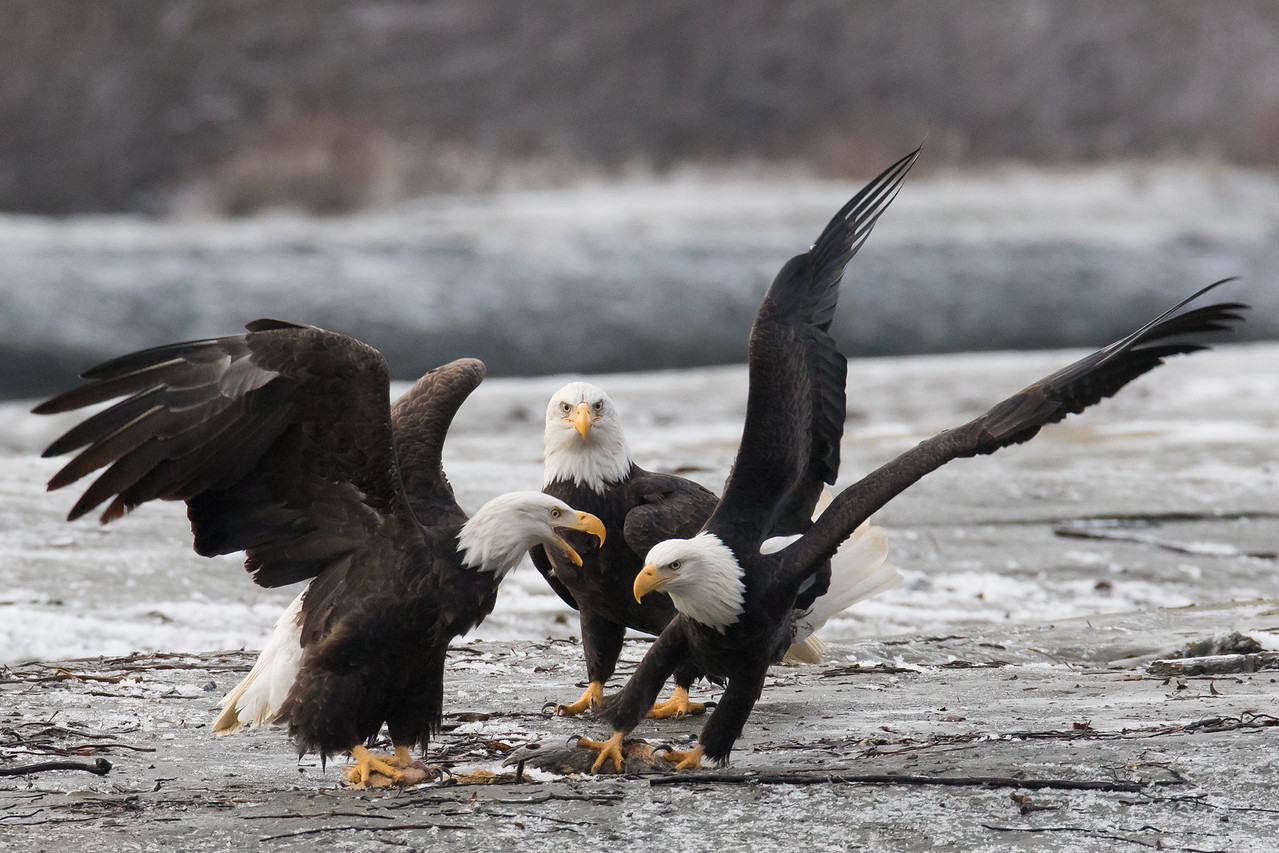 "ALASKA EAGLES 0481<br /> <br /> ""Attempted Robbery 02""<br /> <br /> Chilkat River - Haines, AK"