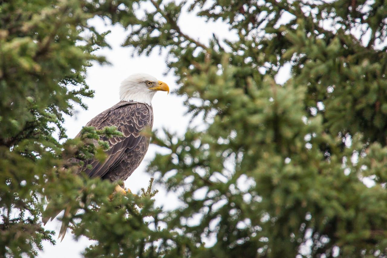 """BALD EAGLE 0712<br /> <br /> """"Peekaboo Eagle"""""""