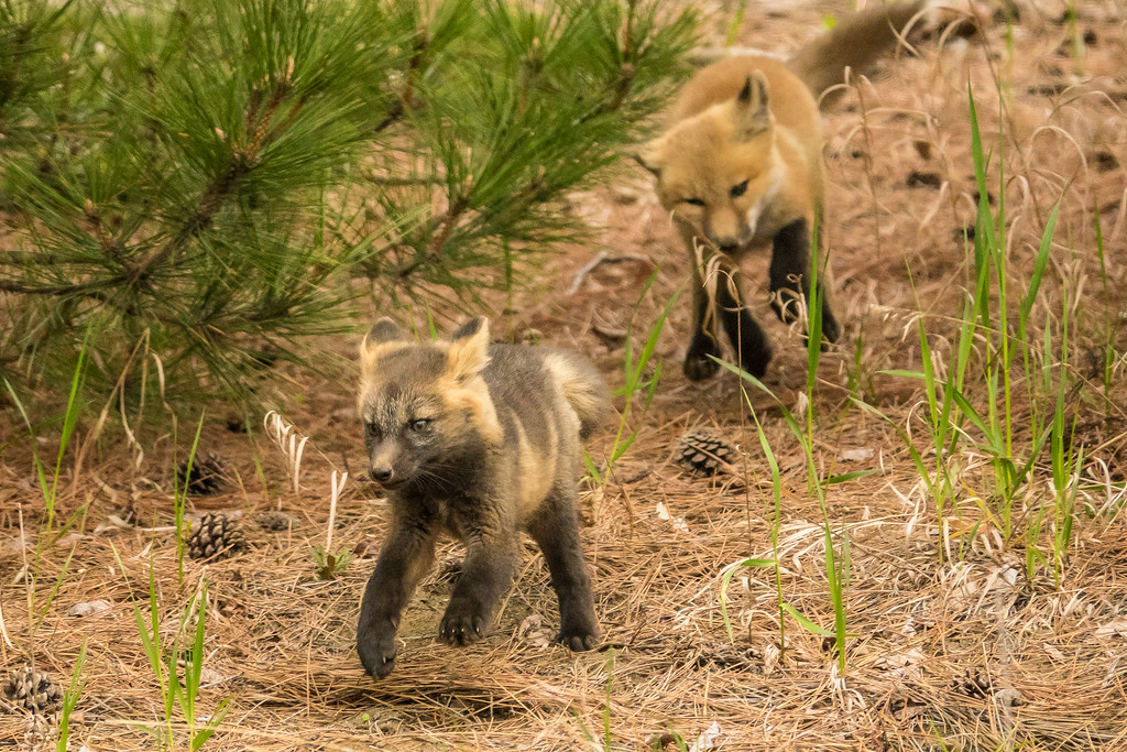 """FOX 04402<br /> <br /> """"The race is on!""""<br /> <br /> Two young fox kits taking turns chasing each other around a pine tree :-)"""