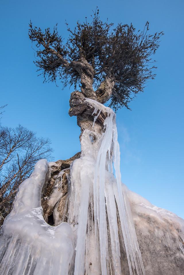 """Ice on the Spirit Tree"""
