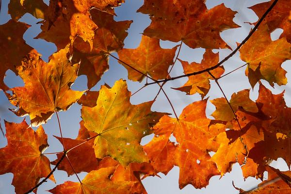 """""""Backlit Maple Leaves"""""""