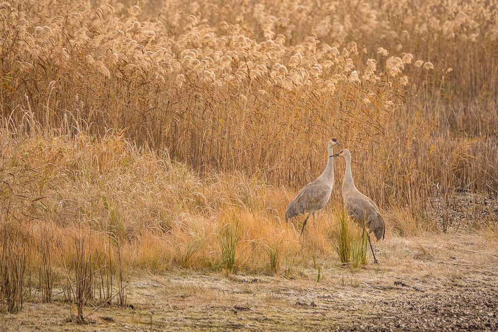 """SANDHILL CRANES 02682<br /> <br /> """"Crex Meadows Cranes""""<br /> <br /> Crex Meadows Wildlife Area - Grantsburg, Wisconsin"""