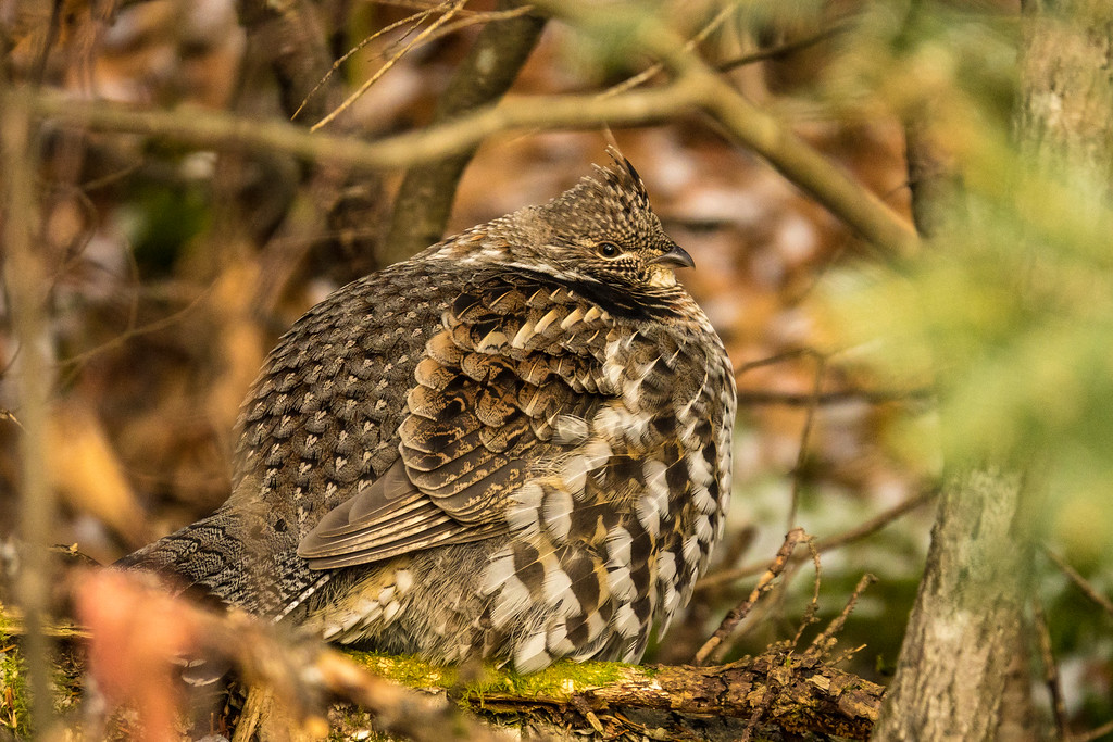 "RUFFED GROUSE 07228<br /> <br /> ""Puffy Grouse""<br /> <br /> November 12, 2017 - A couple of mornings ago when the temp was just above zero I went for a walk in the woods and came across this Ruffed Grouse.  He was all puffed up to stay warm on the brisk morning.  He sure was cute!"