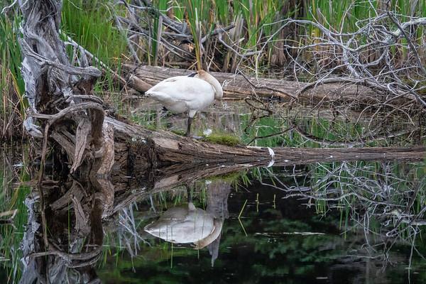 """Solitary Swan"""