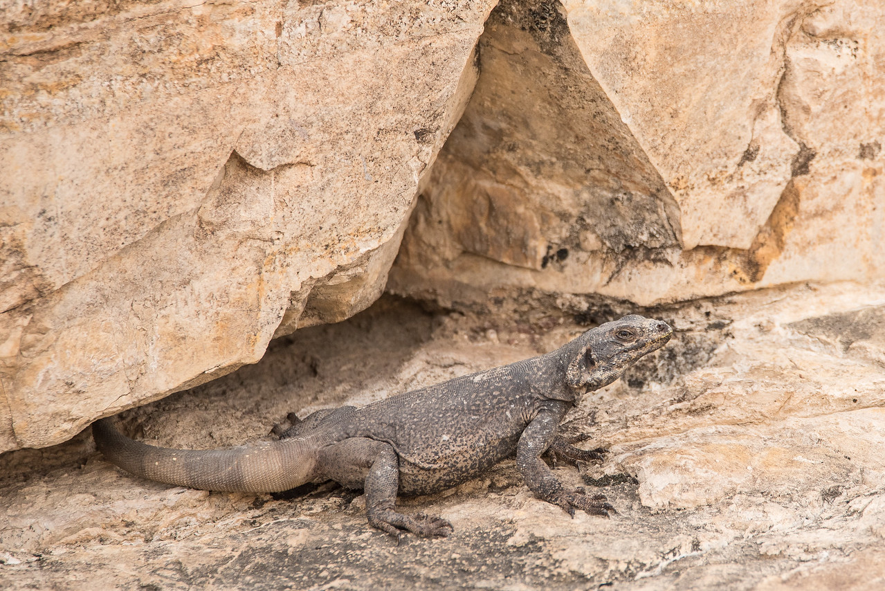 "CALIFORNIA 1857<br /> <br /> ""Chuckwalla""<br /> <br /> Death Valley National Park"