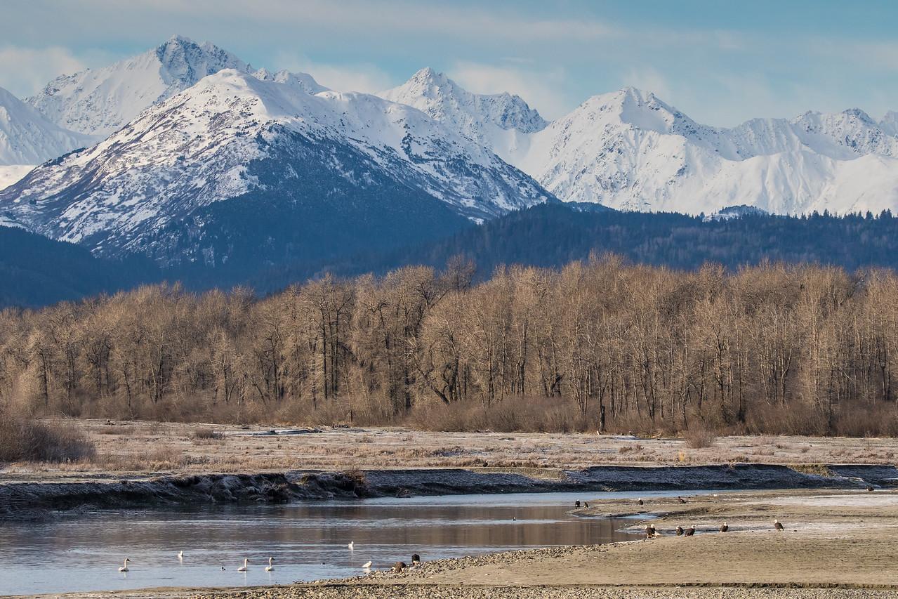 """ALASKA EAGLES 8887<br /> <br /> """"Valley of the Eagles""""<br /> <br /> Chilkat River - Haines, AK"""