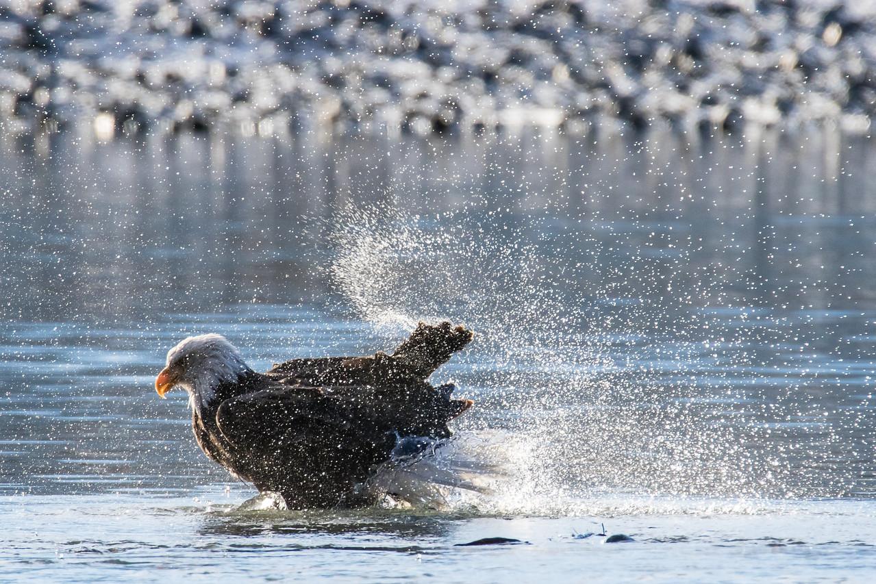 """ALASKA EAGLES 0034<br /> <br /> """"Bald Eagle Bath Time 01""""<br /> <br /> Chilkat River - Haines, AK"""