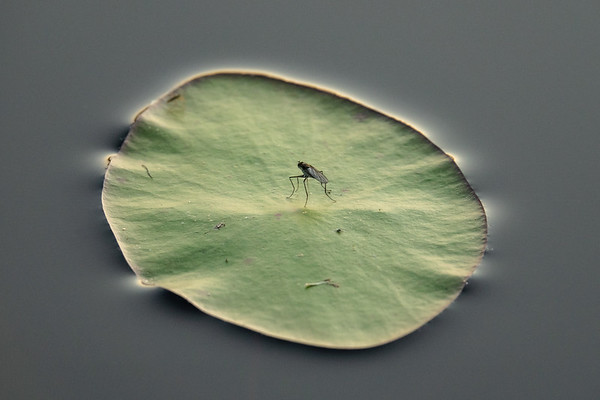"""""""Resting Fly on Lily Pad"""""""
