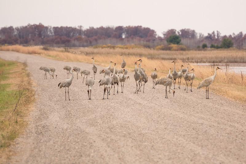 """SANDHILL CRANES 02880<br /> <br /> """"Crane Traffic Jam""""<br /> <br /> Crex Meadows Wildlife Area - Grantsburg, Wisconsin"""