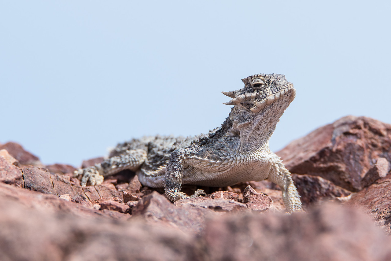 "CALIFORNIA 1494<br /> <br /> ""Horned Lizard""<br /> <br /> Death Valley National Park"