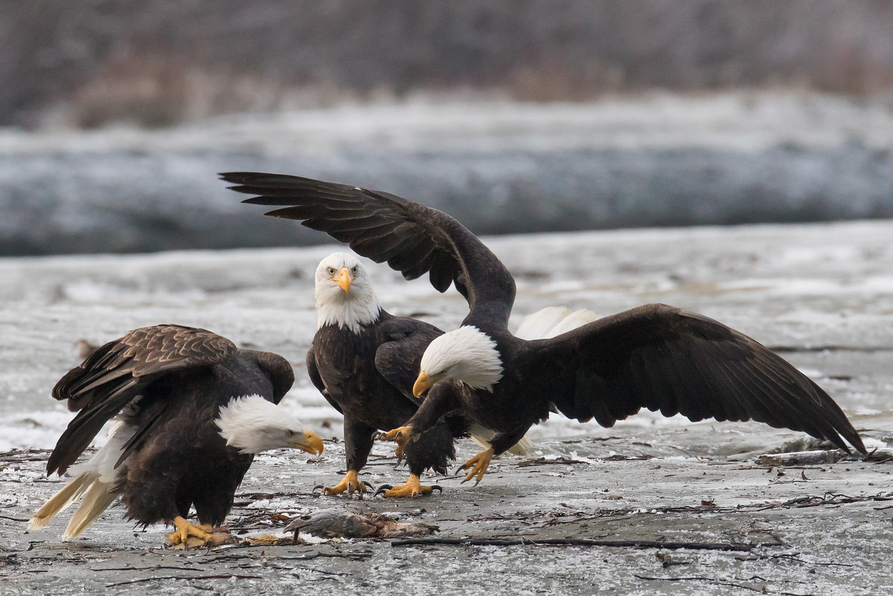 """ALASKA EAGLES 0480<br /> <br /> """"Attempted Robbery 01""""<br /> <br /> Chilkat River - Haines, AK"""