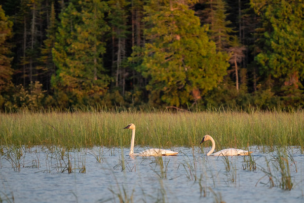 """Swamp Lake Swans"""