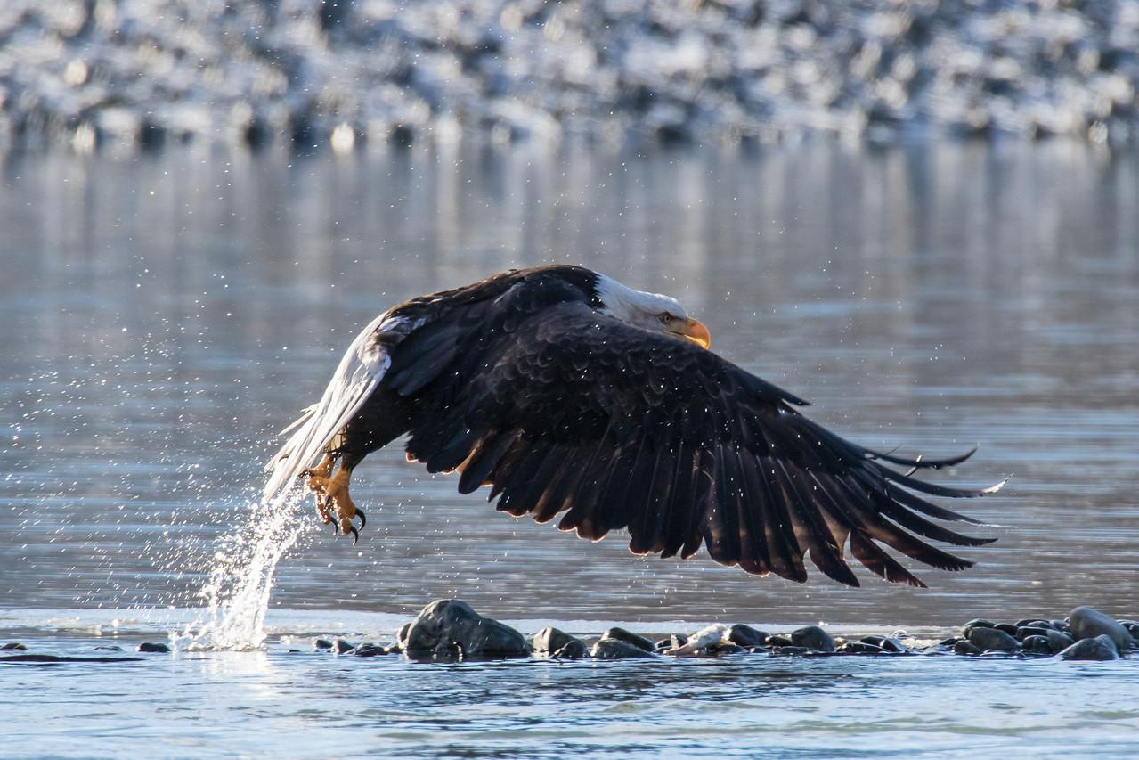 """ALASKA EAGLES 0098<br /> <br /> """"Bald Eagle Bath Time 03""""<br /> <br /> Chilkat River - Haines, AK"""