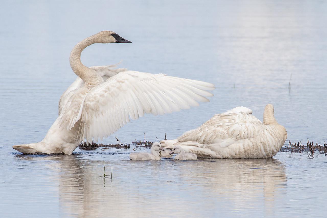 """SWANS 7587<br /> <br /> """"Swan Family""""<br /> <br /> Crex Meadows Wildlife Area - Grantsburg, Wisconsin"""