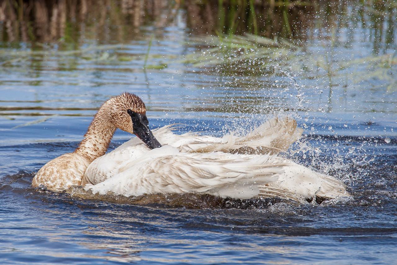 "SWANS 7609<br /> <br /> ""Bathing Swan""<br /> <br /> Crex Meadows Wildlife Area - Grantsburg, Wisconsin"