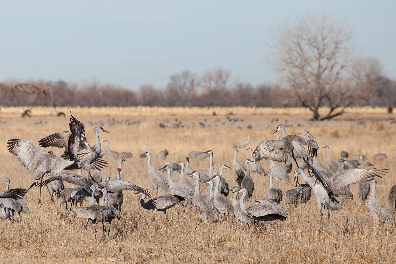 "NEBRASKA 2048  ""Field of Dancing Cranes"""