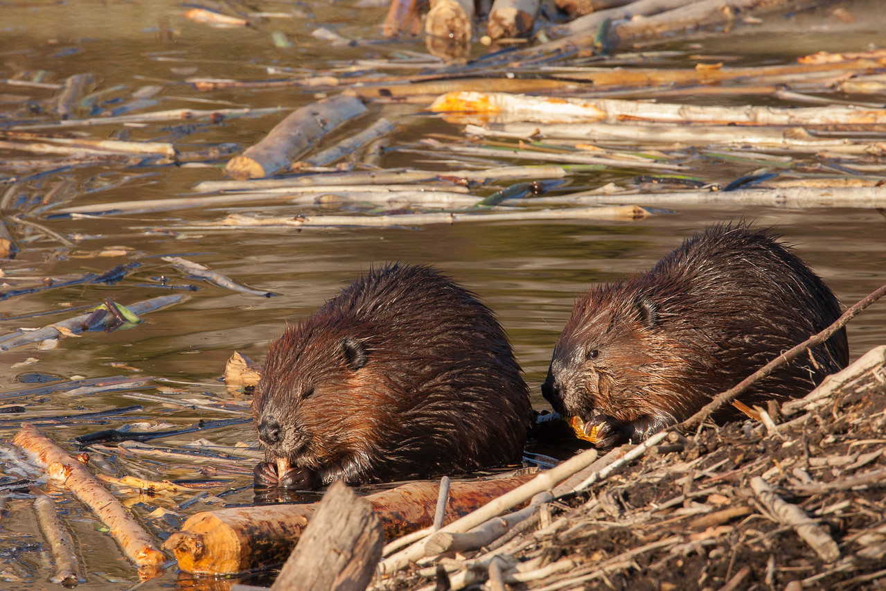 "BEAVER 4014<br /> <br /> ""Little Lake Beaver Pair""<br /> <br /> Grand Portage, MN"