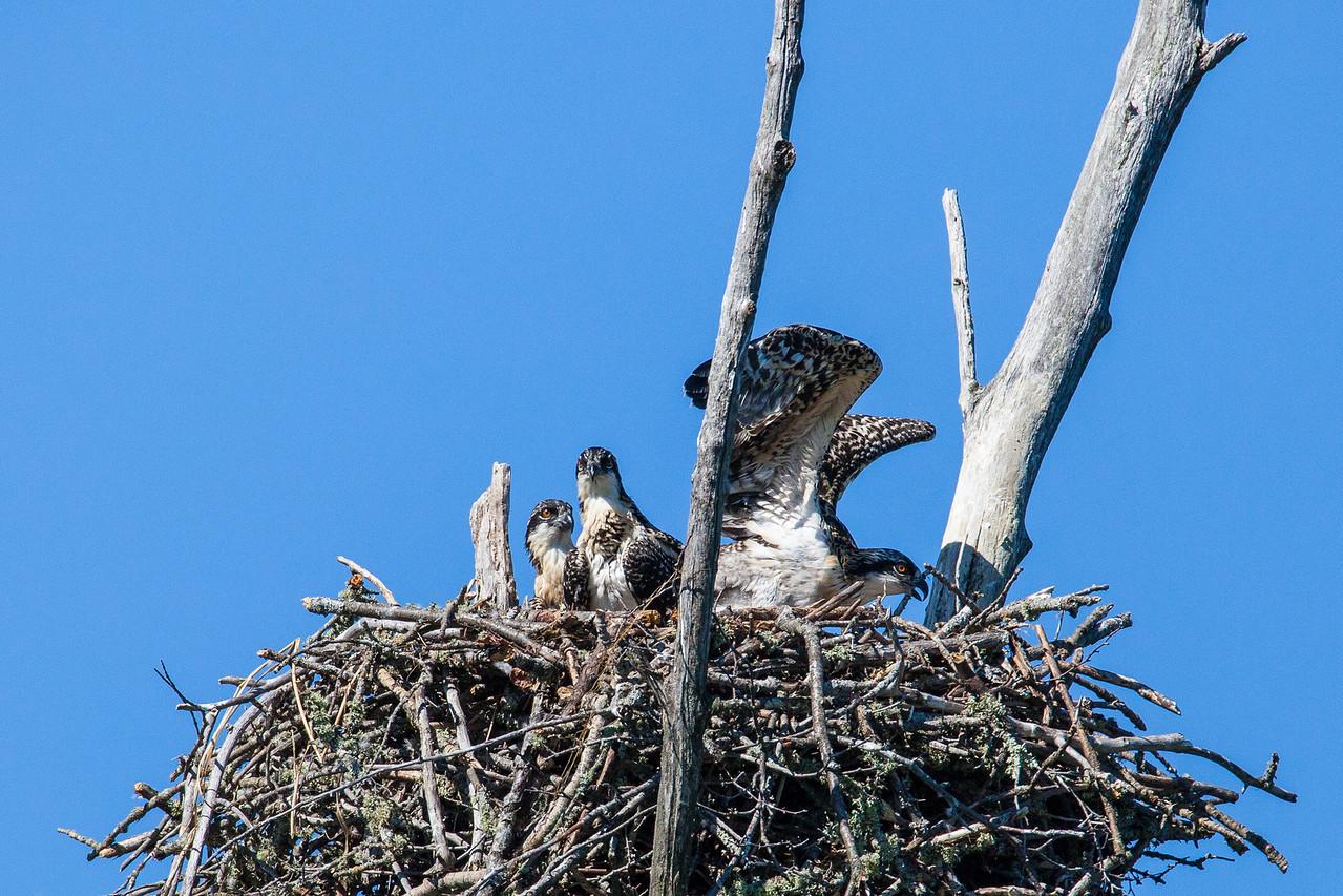 """OSPREY 8469<br /> <br /> """"Three Little Osprey"""""""