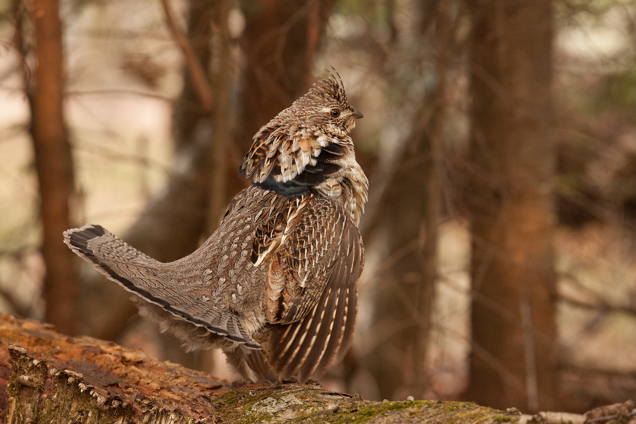 "RUFFED GROUSE 5743<br /> <br /> ""Regal Ruffed Grouse"""