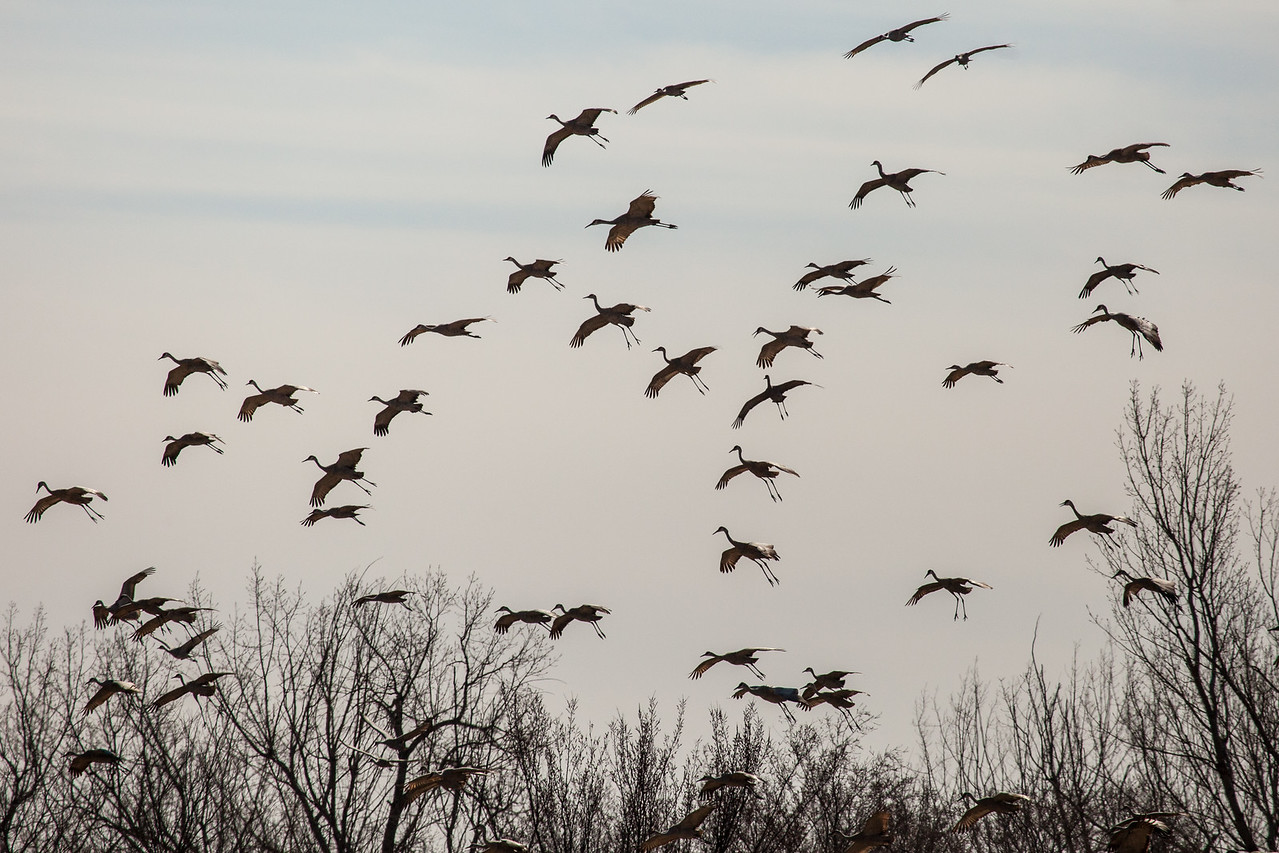 "NEBRASKA 2325  ""Landing gear down!""  Sandhill Cranes dropping from the sky, preparing for a landing in a farm field."