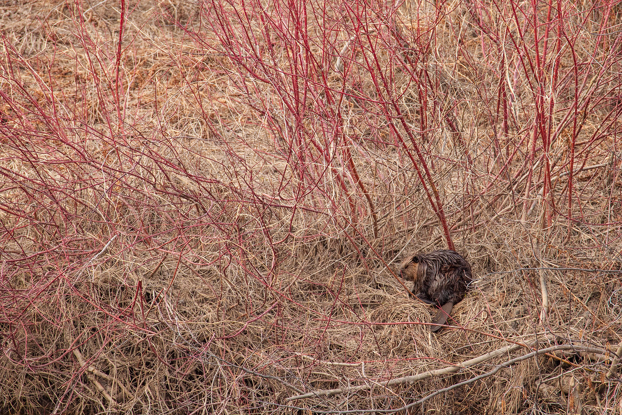 "BEAVER 5477<br /> <br /> ""Beaver and Red-Osier Dogwood""<br /> <br /> Grand Portage State Park, MN"