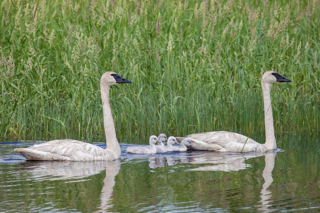 """SWANS 7579<br /> <br /> """"Swan Family""""<br /> <br /> Crex Meadows Wildlife Area - Grantsburg, Wisconsin"""