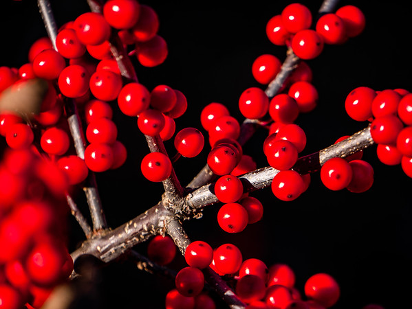 Just some winterberries shot while testing my new video/travel camera.