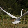 Egret in the Jones River Salt Marsh