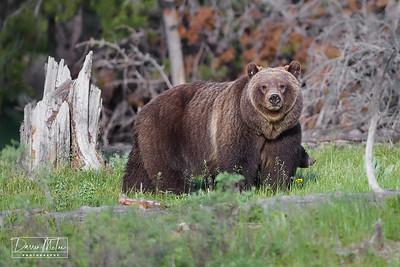 """""""Queen of the Tetons - Bear #399"""""""