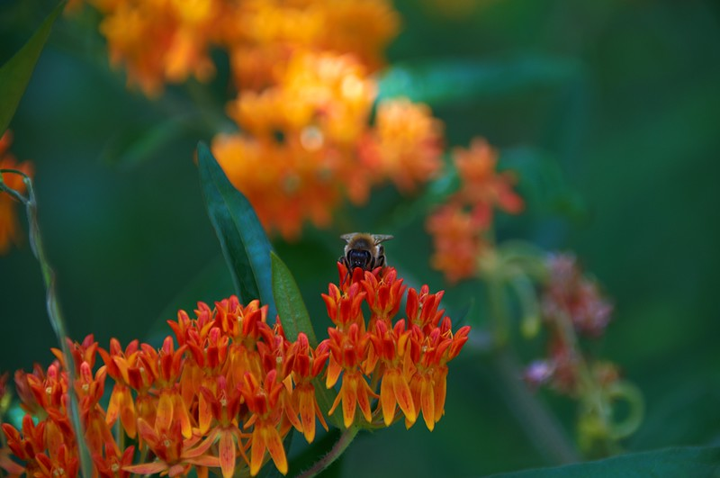 Honey Bee on Elm Street