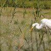 Egret on the Jones River Salt Marsh