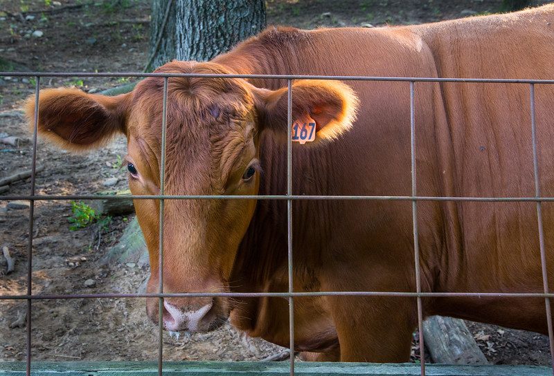 Cow Number 167