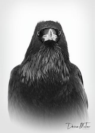 """""""Raven Gaze"""""""