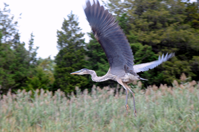 Great Blue Heron Flying Above the Jones River Salt Marsh