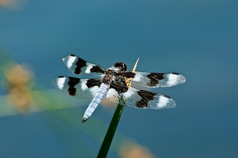 Eight-spotted Skimmer, Libellula forensis