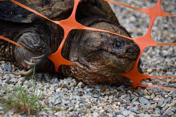 Snapping turtle at Elm Street site