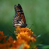 Monarch on Elm Street 3