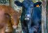 Bad Cows