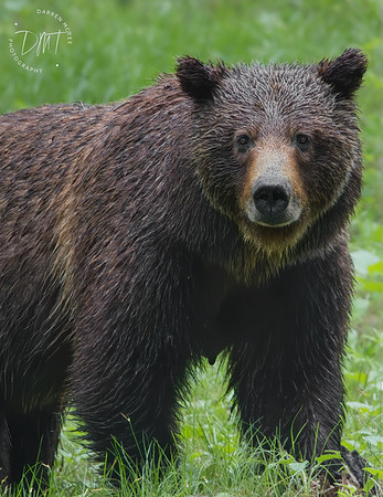 Grizzly #399