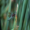 Dragonfly In Silver Lake