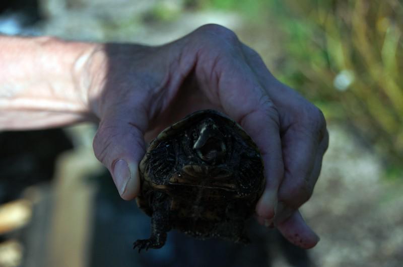 Eastern Musk Turtle at Elm Street