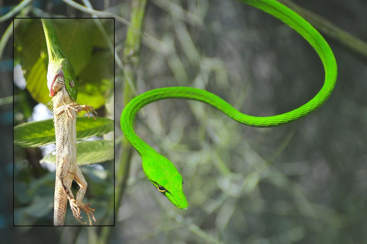 The Oriental Whip Snake
