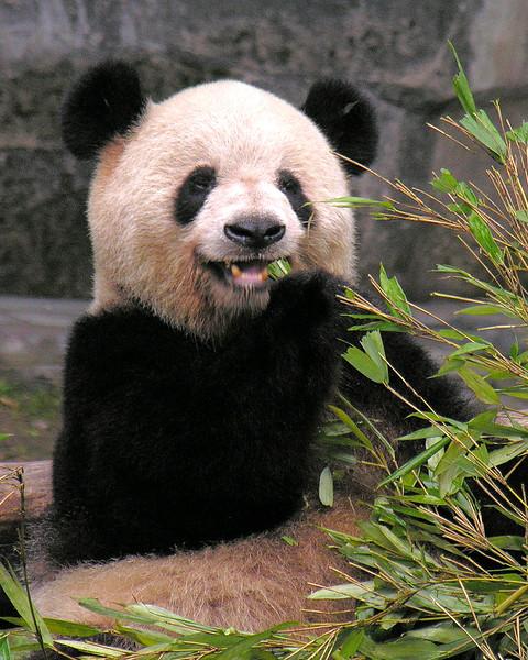 Chongqing Zoo -  Giant Pandas