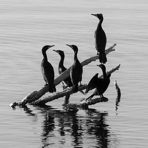 B & W of cormorants sunning on dead tree in lake