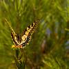 5 _Papillon