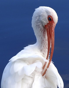 Preening Ibis - Maddy Lee