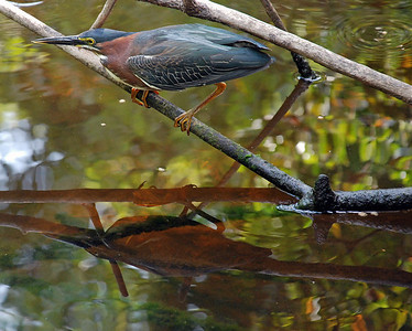 Little Green Heron Sharon Galvin