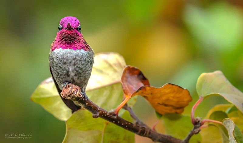 Hummingbird Fall Colors